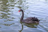 stock photo of black swan  - Black swan swimming on lake close up - JPG