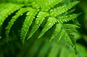 stock photo of fern  - green fern leaf with water drops close - JPG