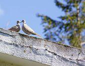 Cuckoos