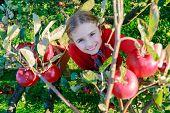 Junges Mädchen Bio Äpfel pflücken, in der Basket.Orchard.