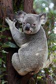 A koala sitting on a eucalyptus tree.