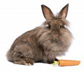 eine süße Schokolade Lionhead-Bunny-Häschen mit Karotte
