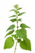 high nettle plant isolated on white
