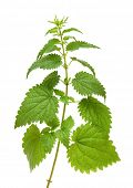 high green nettle plant isolated on white
