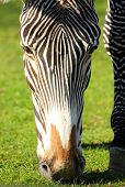 close-up view on head of grazing zebra