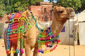 Pushkar Camel Fair - decorated camel during festival in Pushkar India