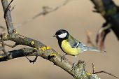 Parus Major On A Branch