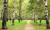 stock photo of birching  - Morning autumn birch grove in the end of September