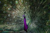 Close Up Of Indian Peacock With Beautiful Unreal Color Of  Tail Feathers