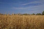 Wheat crop field in rural farmland