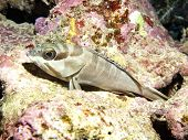 foto of grouper  - Blacktip grouper in Red sea Egypt Hurghada - JPG
