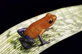 strawberry poison dart frog a beautiful tropical amphibian from the rain forest this red and blue an