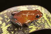 red poison arrow frog, Dendrobates pumilio Siquerres (black jeans) from the tropical rain forest of