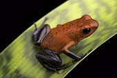 frog with red and blue strawberry poison dart frog Oophaga pumilio for Costa Rica tropical rain fore