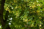 stock photo of linden-tree  - Blooming linden - JPG