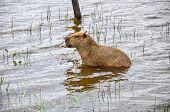 Capivara In Water, Pantanal (brazil)