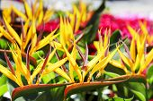 foto of bird paradise  - Bird of Paradise Flower exposed for sale on the local market in Nice France - JPG