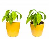 Homegrown Avocado Plant In The Flowerpot Set Of Two Isolated Images