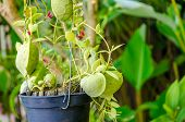 stock photo of climber plant  - Dischidia pectinoides or Ant Plant climber plant - JPG