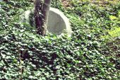 picture of kudzu  - Kudzu growing on a hillside with a tree trunk protected by a concrete barrier - JPG