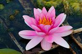 Lotus Flower indian water lily in a pond