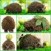 Collage of cute hedgehog