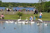 Family feeding swans, Chasewater.