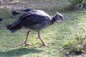 Southern Screamer That Feeds On The Green Lawn