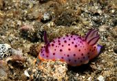picture of flatworm  - Mexichromis Mariei Nudibranch - JPG