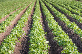 stock photo of solanum tuberosum  - Seemingly endless rows of fresh green young potato or Solanum tuberosum plants on a Dutch field - JPG