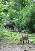 Wild Boars Standing In The Forest