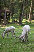 pic of deer family  - Two white red deers eating the grass in the forest - JPG