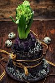 green sprout hyacinth flower in a flowerpot