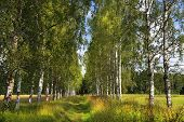 Landscape With Russian Birches