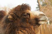 Head Of Big Camel