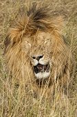 East African Lion (panthera Leo Nubica)