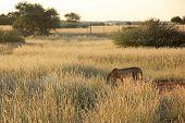 Cheeta, Namibia