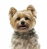 stock photo of yorkshire terrier  - Yorkshire Terrier  - JPG
