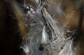 Milkweed Pod Popping Out Among The White Fibers