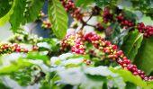 Coffee tree plantation background