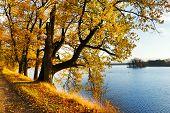 Yellow oak Trees in the autumn
