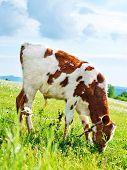 stock photo of caw  - caw in green field in Crimea  - JPG