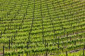 Big vineyard on a hill in Tuscany
