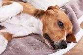 Beagle dog on bed close-up