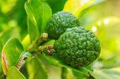 Bergamot On Tree