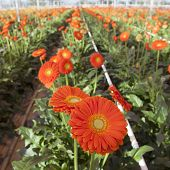 Orange Gerbera Flowers In Greenhouse