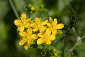 Herb St. John's Wort Close Up