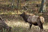 pic of wander  - a young elk buck wandering in the woods - JPG
