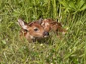 Baby Fawn Curled Up in the Grass