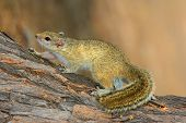Tree squirrel (Paraxerus cepapi) sitting in a tree, South Africa